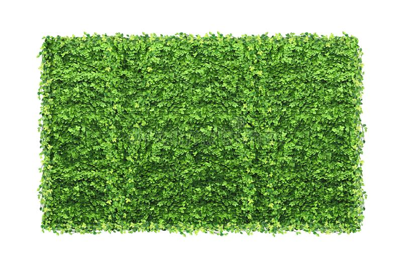 Viele grünen Ficus pumila Blätter und leerer Fotorahmen an lokalisiert stockfoto