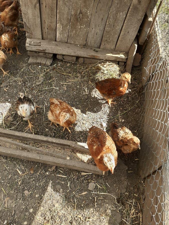 Viele Hühner im Yard stockfoto