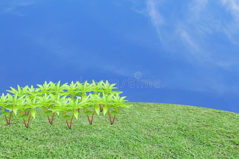 Viele Hennastrauchbäume in der linken Seite des Rahmens auf der Rasenfläche herein lizenzfreies stockfoto