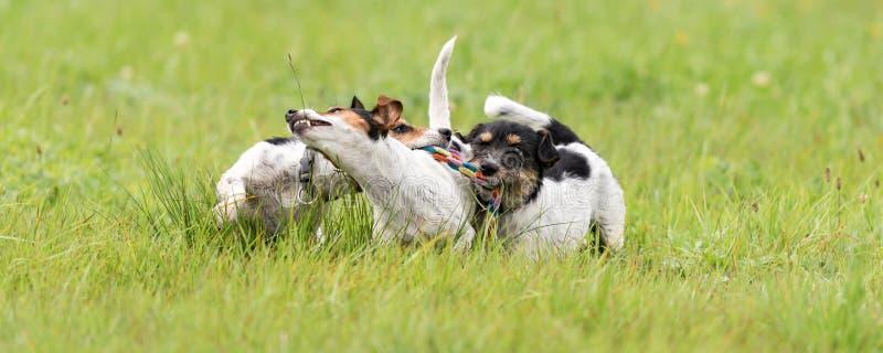 Viele Hunde laufen und spielen mit einem Ball in einer Wiese - ein netter Satz von Jack Russell Terriers stockfoto