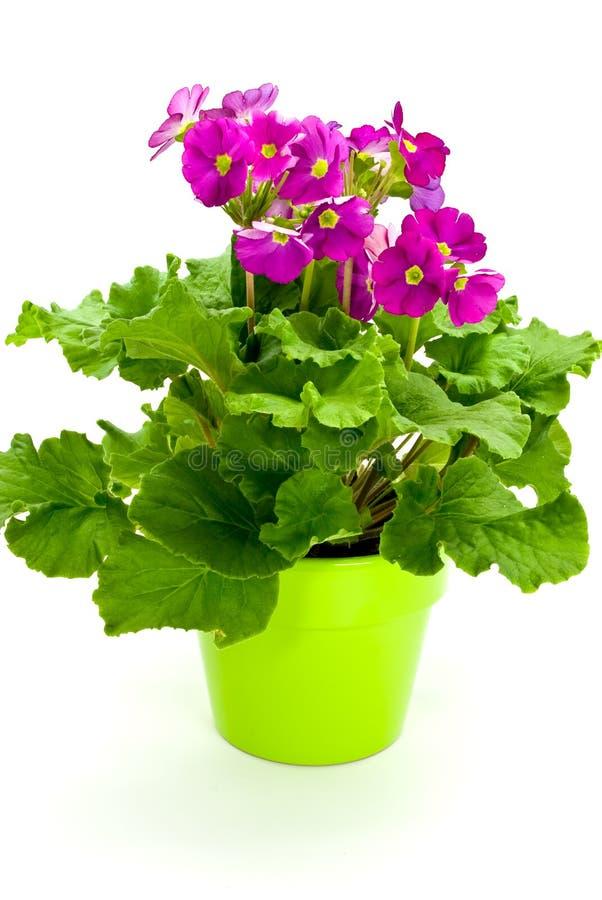 Viele, junge purpurrote Primeln auf dem Blumenpotentiometer stockfotos