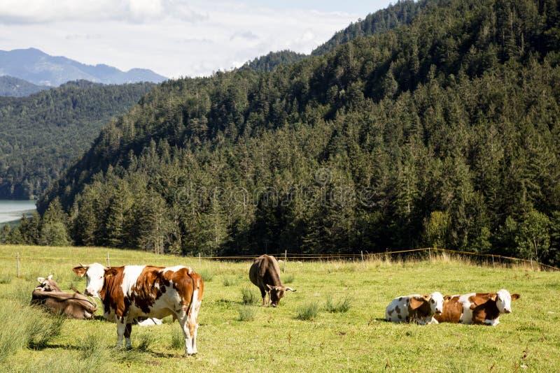 Viele Kühe auf Weide, Alpen im Hintergrund, Deutschland lizenzfreie stockfotografie