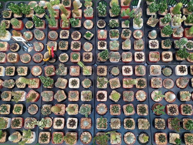 Viele Kaktusb?ume lizenzfreie stockbilder