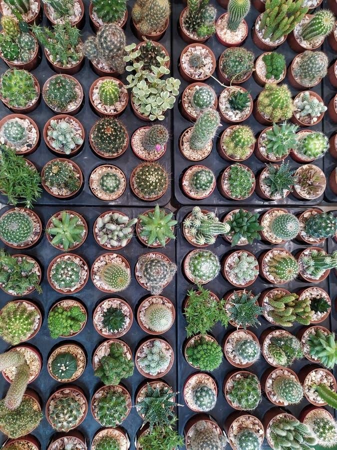 Viele Kaktusb?ume lizenzfreies stockbild