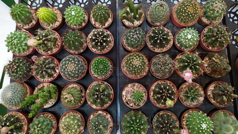 Viele Kaktusb?ume stockfotos