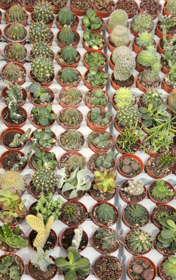 Viele Kaktuspflanzen für Verkauf im Gewächshaus lizenzfreie stockfotos