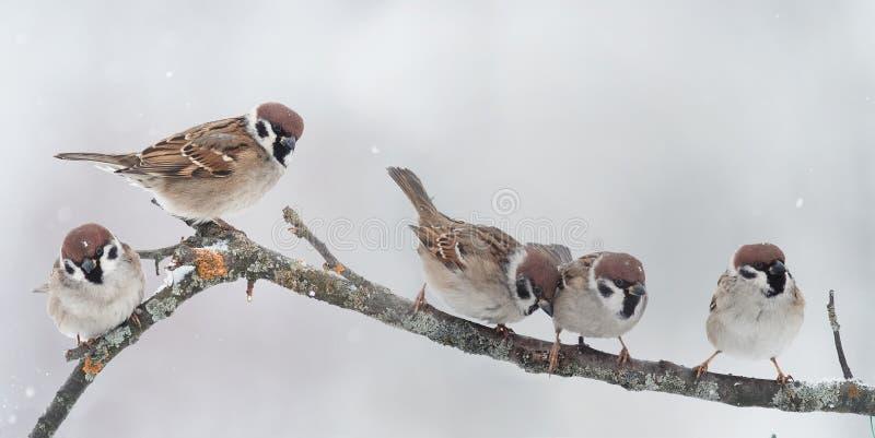 Viele kleine Vögel, die auf einer Niederlassung während Schneefälle sitzen lizenzfreie stockfotos