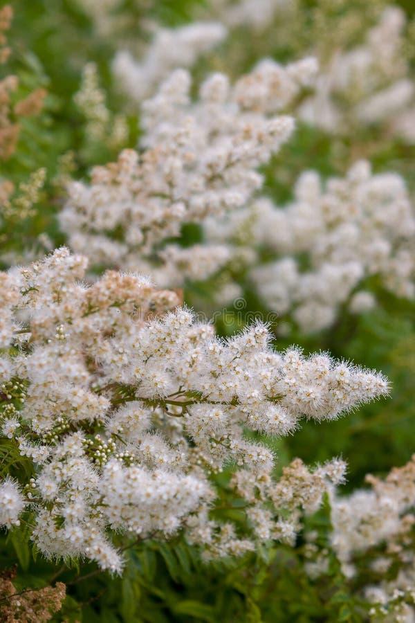 Viele kleine weiße blühende Blumen auf einem grünen Busch Vertikaler Ruhm stockfotografie