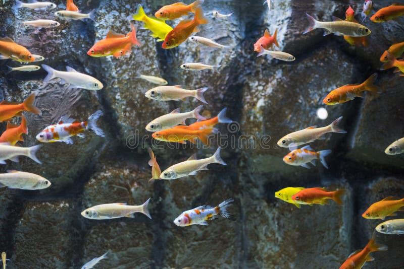 Viele kleinen Fische im Aquarium stockbilder