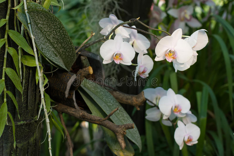 Viele Knospen weißen Orchidee Phalaenopsis stockbild
