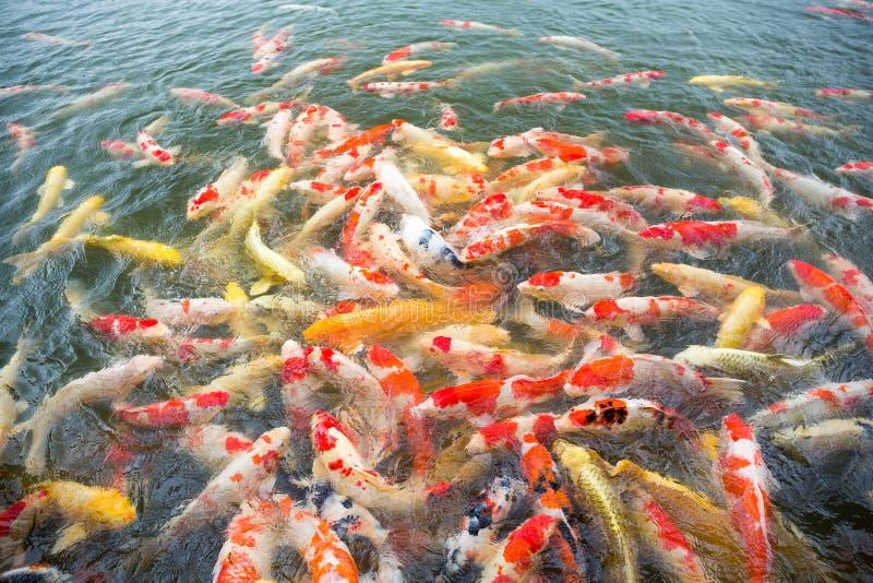 Viele Koi-Fische stockbilder