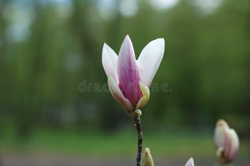 Viele Magnolienblumen lizenzfreie stockfotografie