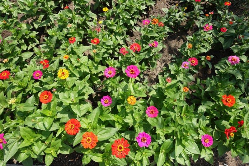 Viele mehrfarbigen Blumen von Zinnia elegans im Sommer lizenzfreies stockbild