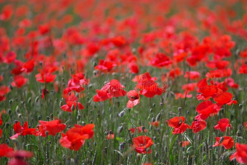 Viele Mohnblumen in der Blüte lizenzfreie stockbilder