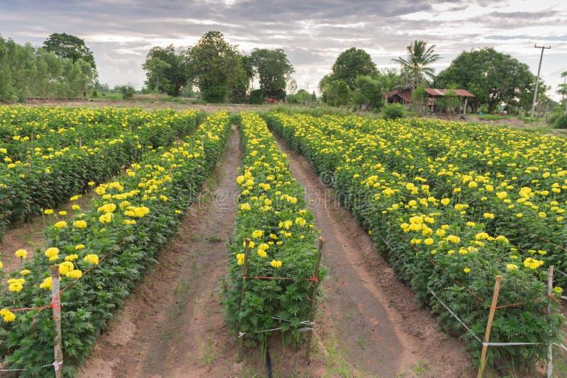 Viele Ringelblumenblumen stockfotos