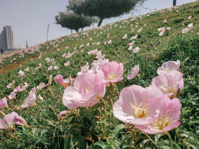 Viele rosa Blumen der rosa Nachtkerze auf der Steigung Leichte weiche helle Blumenblätter schließen oben Rasengras, Baum und lizenzfreie stockbilder