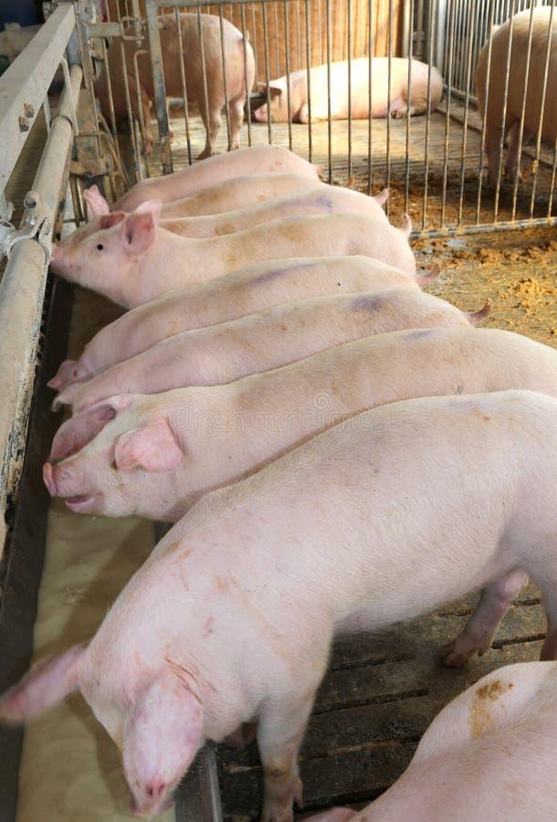 Viele rosa Schweine im Schweinestall des Viehbrüters lizenzfreie stockfotos