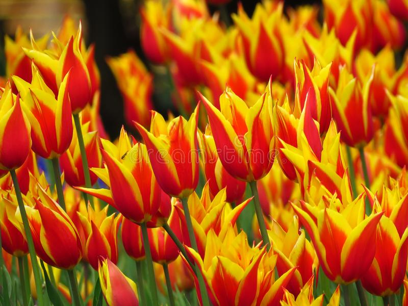 Viele roten blühenden Tulpen mit scharfer Blumenblätter Aladin-Art und gelbe Ränder stockfotografie