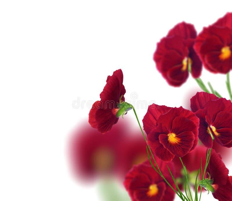 Viele roten Pansyblumen getrennt auf Weiß lizenzfreies stockbild