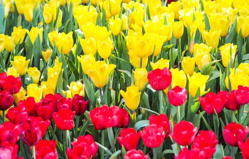 Viele roten und gelben Tulpen im Garten stockfoto