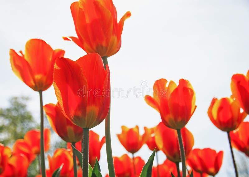 Viele schöne helle gelbe und rote Blumen und Knospen von einem Tu stockbilder