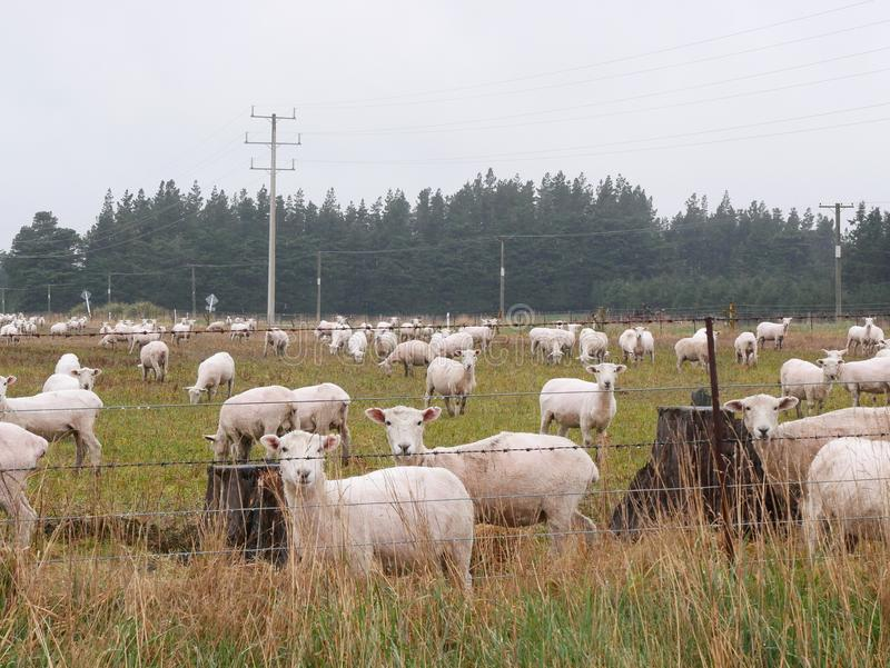 Viele Schafe in Queenstowns lizenzfreies stockbild