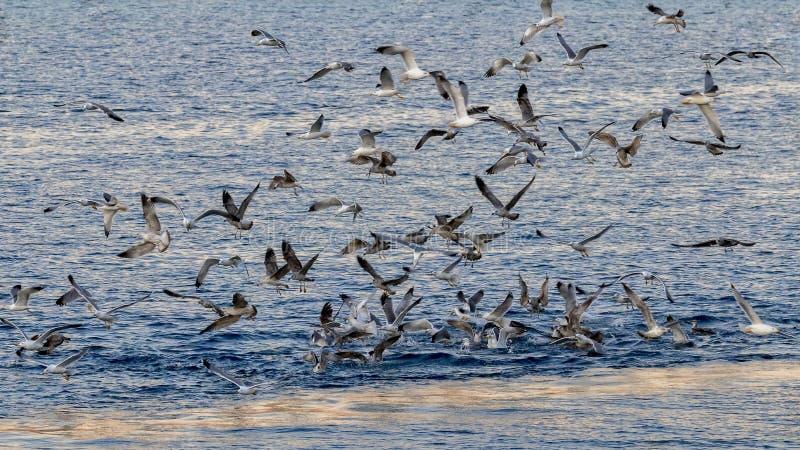 Viele Seemöwen essen herauf etwas, was die Fischer heraus geworfen lizenzfreie stockbilder
