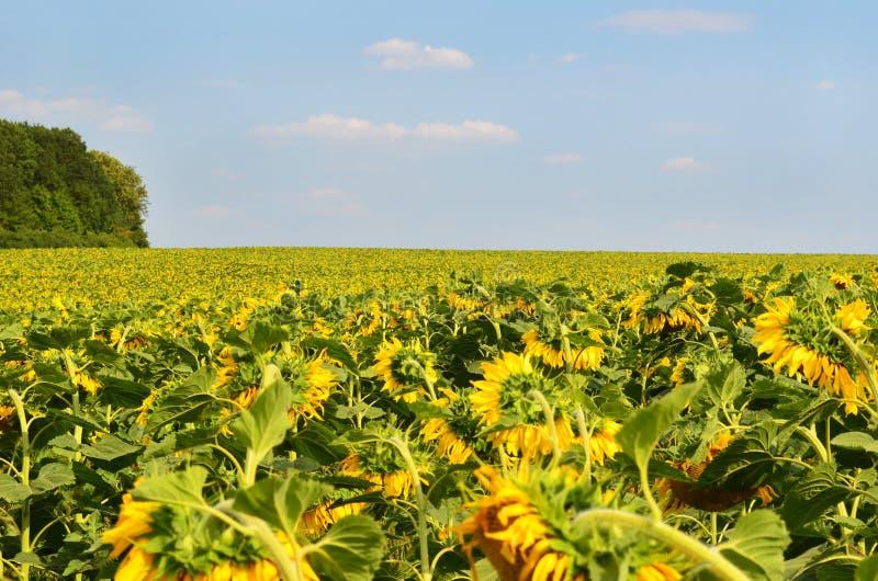 Viele Sonnenblumen auf dem Feld unter blauem Himmel lizenzfreie stockfotos