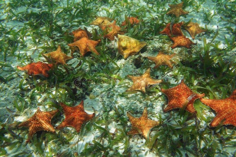 Viele Starfish Unterwasser mit einem Königintritonshornoberteil lizenzfreie stockfotografie