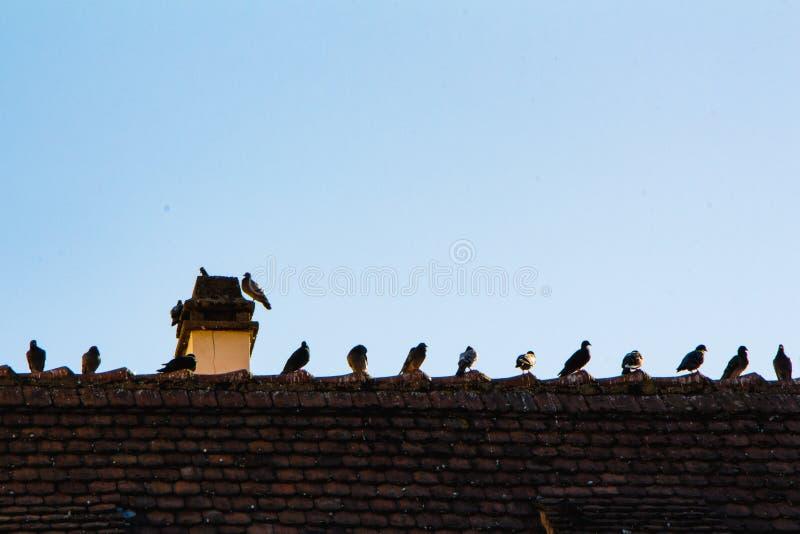 Viele Tauben in Folge auf einem Dach lizenzfreies stockfoto