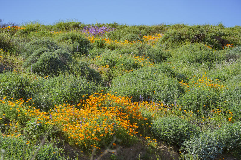 Viele von Blüte der wilden Blume bei Diamond Valley Lake lizenzfreie stockfotografie