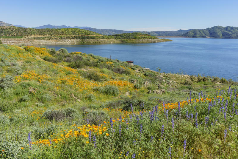 Viele von Blüte der wilden Blume bei Diamond Valley Lake stockbild