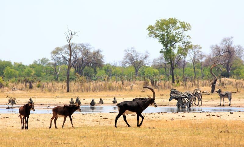Viele von Zobel-Antilopenweg hinter einem waterhole in Nationalpark Hwange lizenzfreie stockfotos