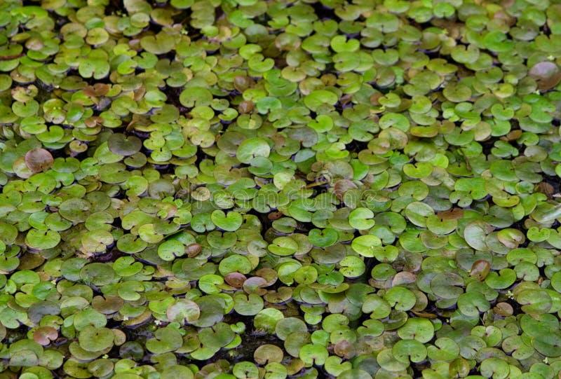 Viele waterplants auf einem See stockbilder
