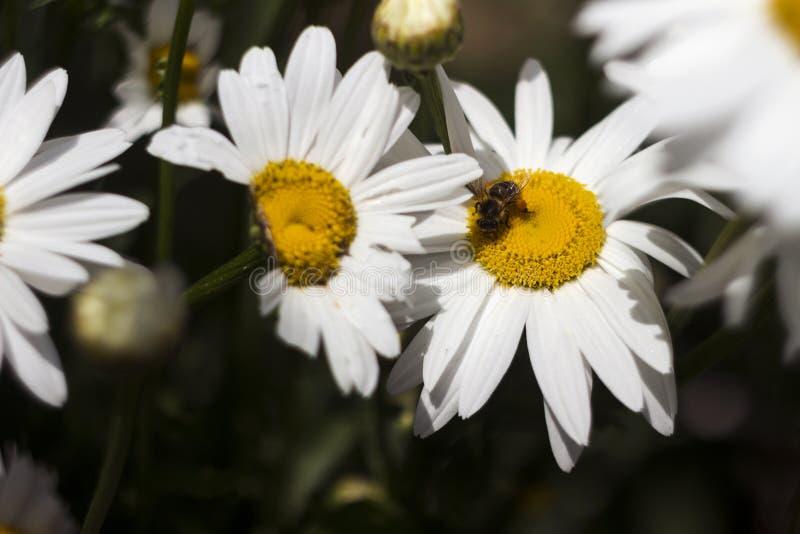 Viele weiße große camomiles Blüte im Garten im Sommer, Hintergrund Die Biene sammelt Nektarblütenstaub auf Sommerblumen mit stockbild