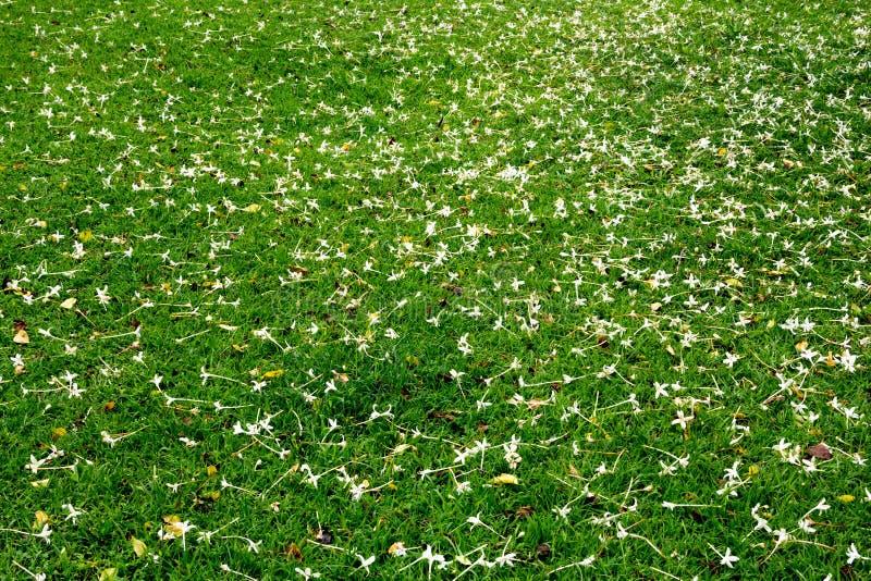 Viele Weißen Kleinen Blumen In Der Draufsicht Der Wiese Stockbild ...