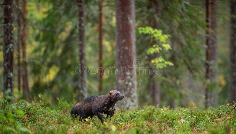 Vielfrass in der wilden Natur lizenzfreies stockfoto