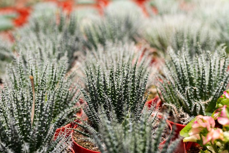 Vielzahl der Kaktuspflanze im Topf Weicher Fokus Selektiver Fokus lizenzfreie stockfotografie