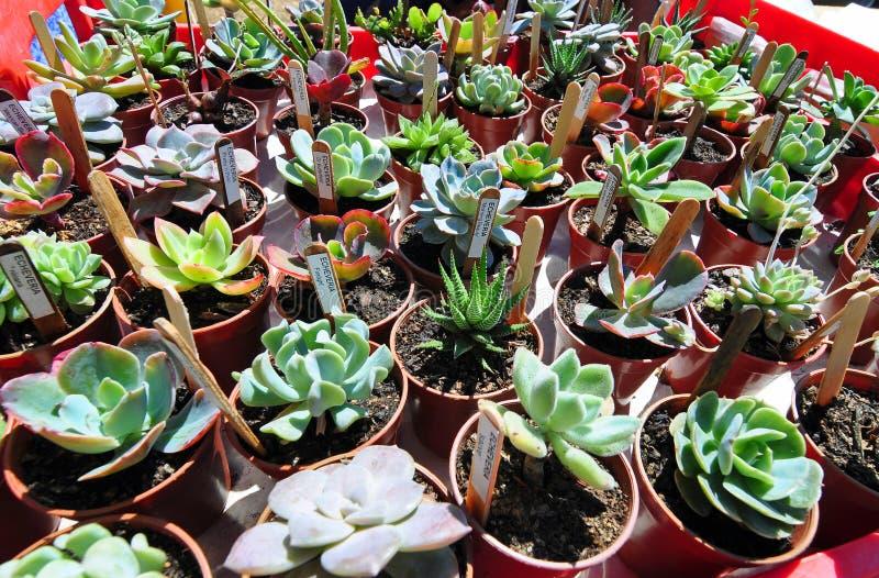 Vielzahl verlost verschiedene Succulentskaktuskaktuspflanzen in den Gartentöpfen stockbilder