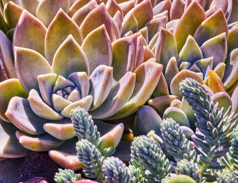 Vielzahl von Succulents in einer Dürre-toleranten Umwelt lizenzfreie stockfotos