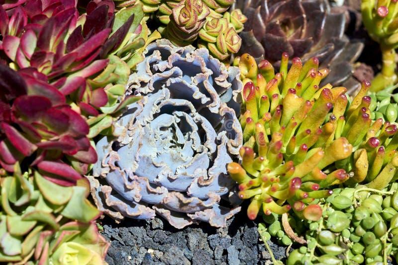 Vielzahl von Succulents in einer Dürre-toleranten Umwelt stockfotografie