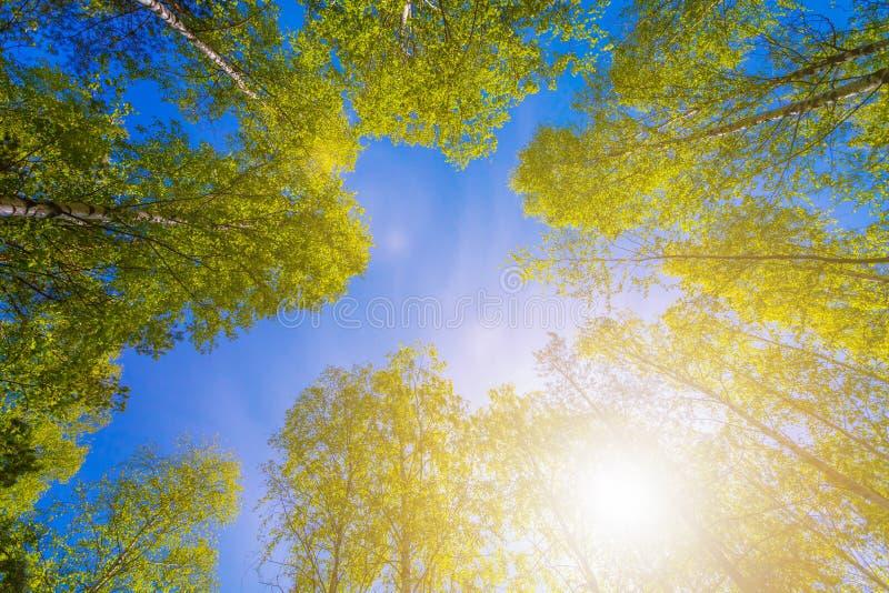 Vielzahlkronen des Waldes der Bäume im Frühjahr gegen den bewölkten Himmel und den hellen Sonnenschein Ansicht von unten der Bäum stockfotografie