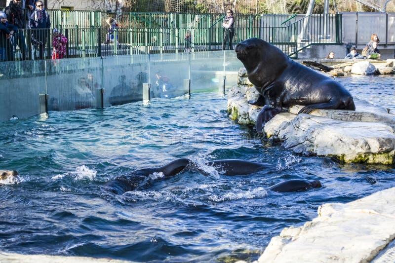 Viena, Austria, 28 02 2019 Alimentación de sellos negros en la piscina de un parque zoológico Alrededor de mucha gente iban a mir fotos de archivo libres de regalías
