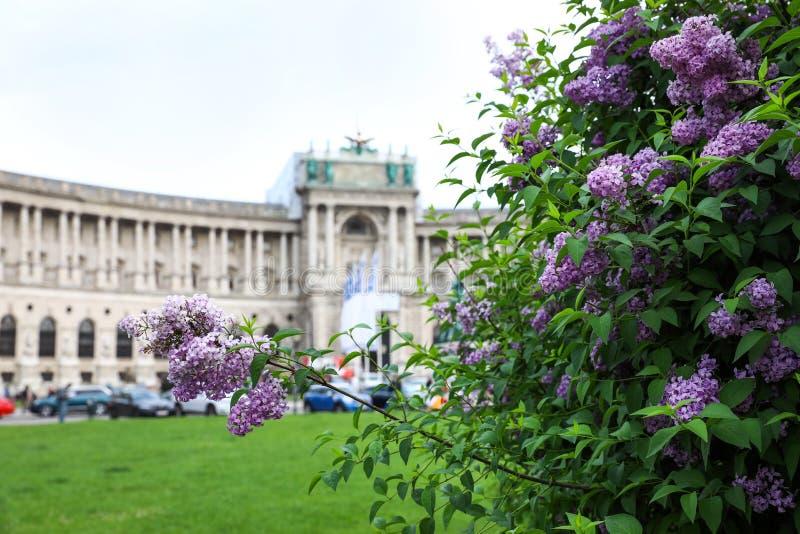 VIENNA, AUSTRIA - 26 APRILE 2019: Cespuglio lilla di fioritura davanti al palazzo di Hofburg sopra fotografia stock libera da diritti