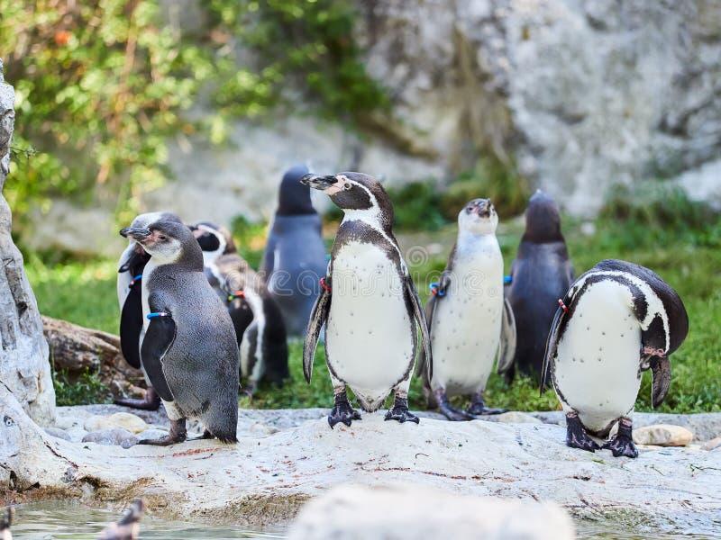VIENNE, AUTRICHE - 8 SEPTEMBRE 2017 Troupeau des pingouins au zoo de Schonbrunn, Vienne, Autriche images stock