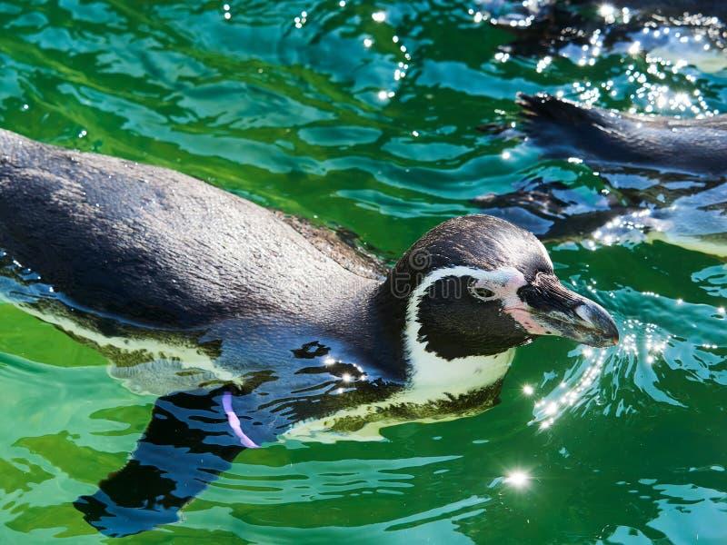 VIENNE, AUTRICHE - 8 SEPTEMBRE 2017 Troupeau des pingouins au zoo de Schonbrunn, Vienne, Autriche photos libres de droits