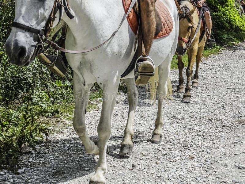 Vientre y piernas de un caballo con un jinete en el suyo detrás para un paseo fotografía de archivo