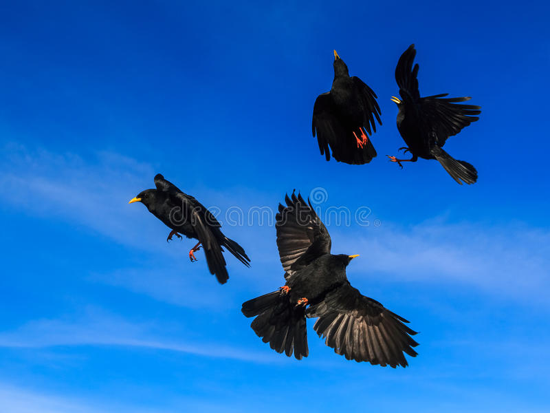 Vier Alpendohlen in einem Flug lizenzfreie stockbilder