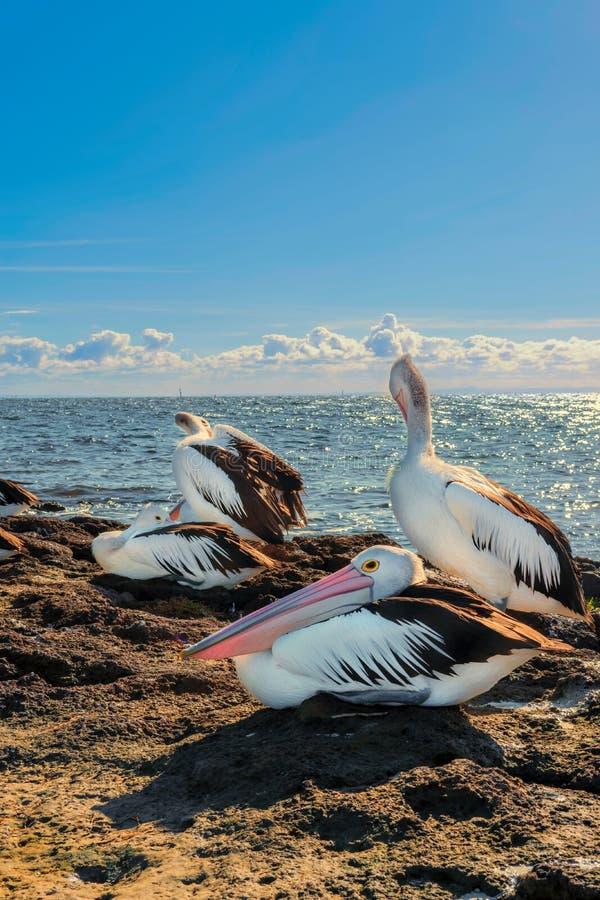 Vier australische Pelikane durch den Ozean lizenzfreie stockbilder