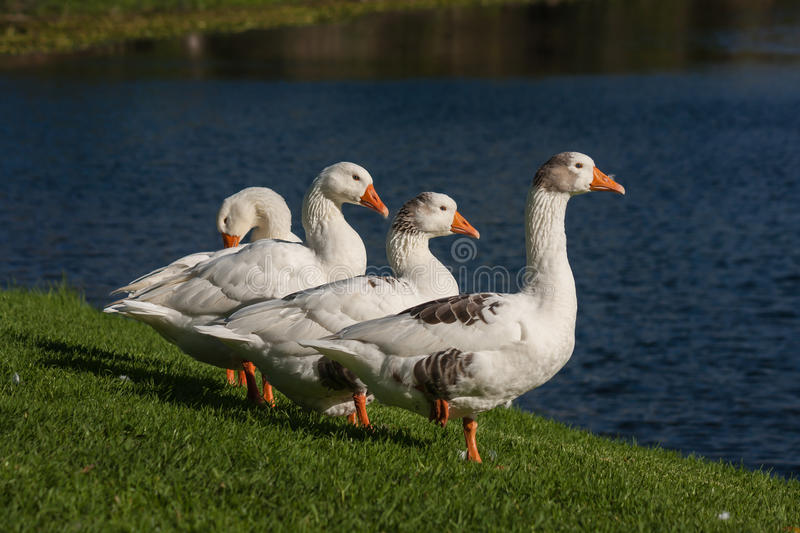 Vier binnenlandse ganzen stock afbeelding